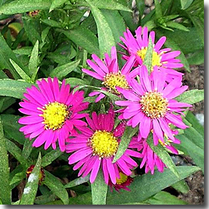 The Alderman Vokes aster cultivar was developed at the Southampton nursery of Alderman Vokes as a plant suitable for Cenotaphs.
